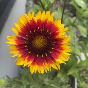 daisy gloriosa
