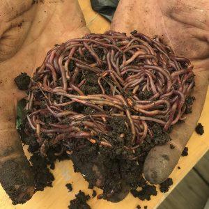Nucleo de lombriz roja californiana